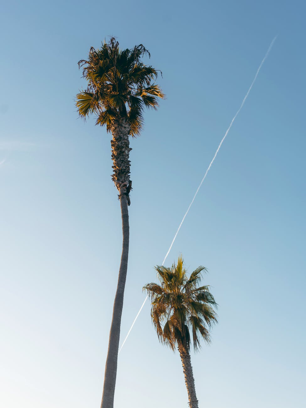 low angle shot of two green palm trees